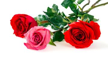 Roses over white background