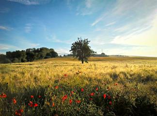 Baum und Klatschmohn in einem Getreidefeld