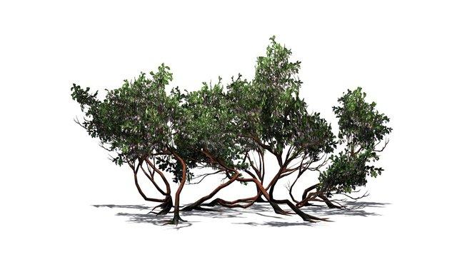 Greenleaf Manzanita shrubs - isolated on white background
