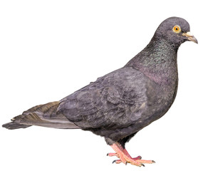 Isolated Gray Pigeon