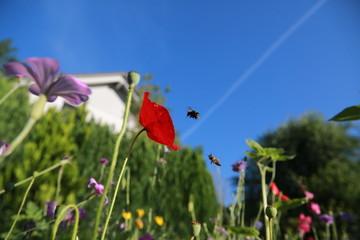 Bienen im Anflug bei der Konkurrenz um Mohn