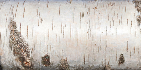 White birch bark, close up background texture Wall mural