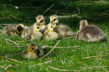 Adorable Little Goslings Resting in the Green Grass