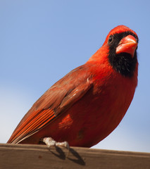 Red cardinal from below
