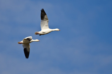 Two Snow Geese Flying in a Blue Sky