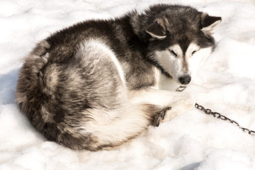 The Siberian Huskies sleeps on spring snow