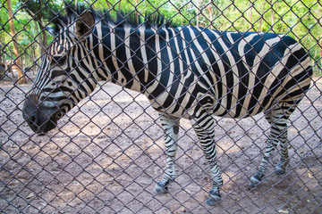 zebra in the zoo.