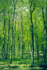 Beech forest at springtime