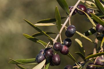 close up of ripe black olives
