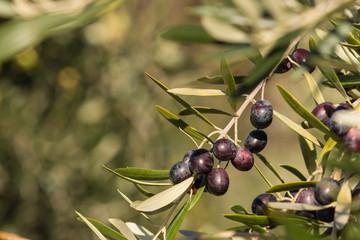 ripening black olives