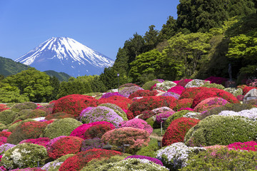 Fototapete - 満開のつつじと富士山