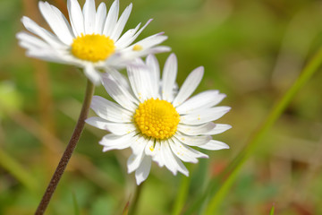 White daisy field closeup shot
