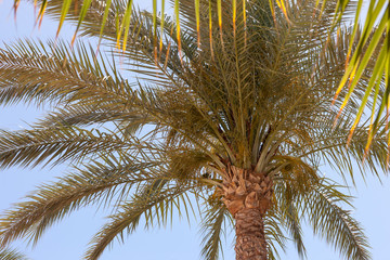 Palm tree in Egypt.