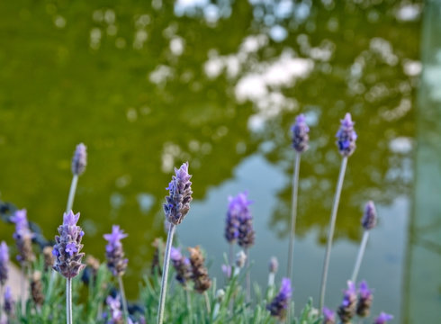 Lavender by lake closeup with green water
