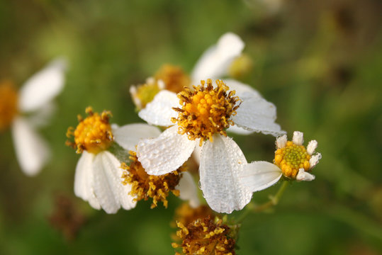 Wilted Daisy Flowers