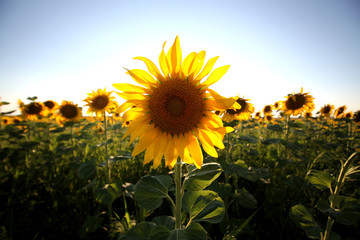A single back lit sunflower in a field