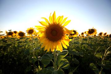 A single back lit sunflower in a field