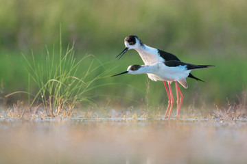 Female black-winged stilt signalling readiness to mate to male