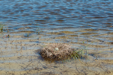 Black-winged Stilt nest