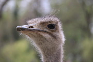 Vogel Strauß Profil