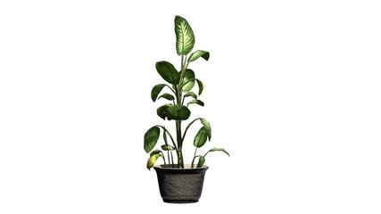 tropical snow plant, Dieffenbachia on white background