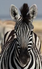 Canvas Prints Zebra Zebra Portrait, Etosha Salt Pan, Namibia