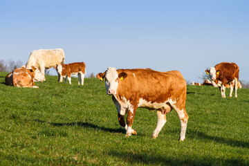 Brown and white dairy cows, calwes and bulls in pasture