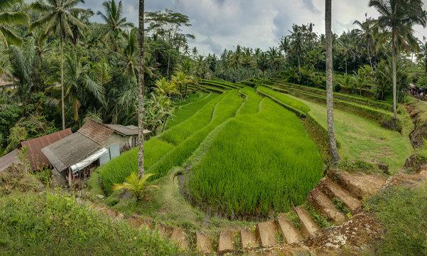 Rice Filed, Pura Gunung Kawi, Bali