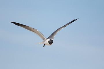 Gaviota reidora en vuelo con plumaje nupcial