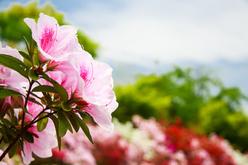 Deurstickers Azalea Field of flowers of Japanese Azalea