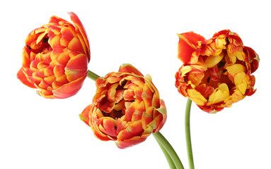 Beautiful bright tulips isolated on white