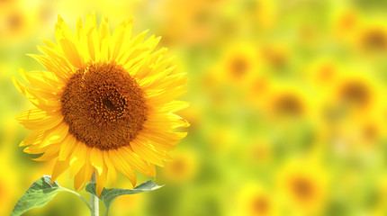 Sunflowers on yellow background