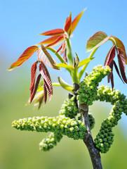 Flowering walnut early spring