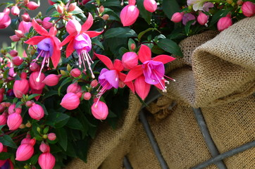 Blumendekoration Fuchsie