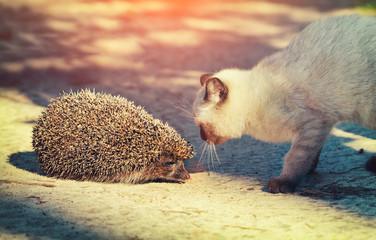 Siamese kitten sniffing a hedgehog