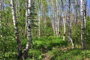Берёзовый лес весной.