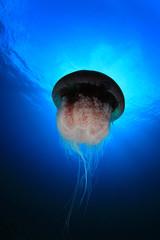 Large Mosaic Jellyfish underwater