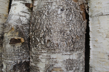 Background from dried and chapped bark birch