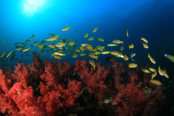 School yellow Bigeye Snappers fish on coral reef