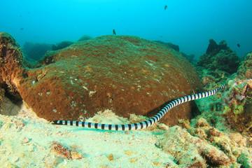 Banded Sea Snake underwater