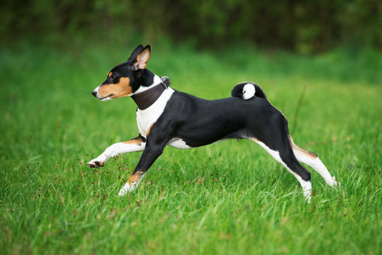 basenji puppy running