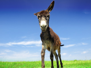 Closeup of a donkey on the field