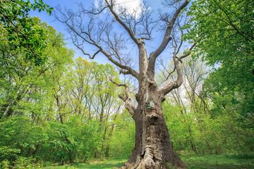 old dry oak