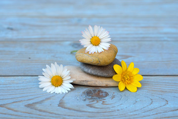 Acrylic Prints Daisies Zen stones on old wooden background with daisy field flowers