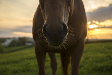 Horse nose and whiskers against sunset