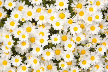 Fotorolgordijn Madeliefjes Lovely blossom daisy flowers background