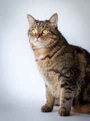 portrait of cat (white background)