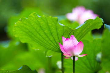 Lotus with green leaf