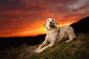 Mixed Breed White Dog  Lies on Manger