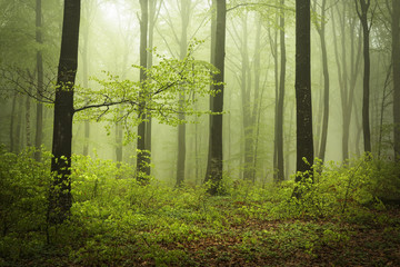 Mysterious and beautiful foggy forests in a spring day